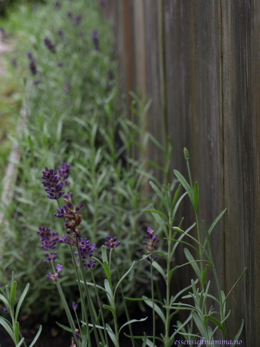 Beskyttet: Lavendel
