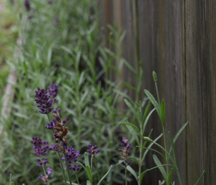 Ukens olje – Lavendel